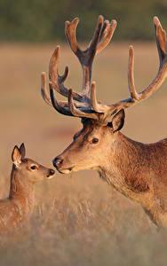 Hintergrundbilder Hirsche Jungtiere Horn