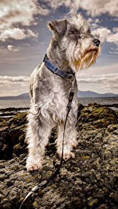 Fotos Küste Hunde Schnauzer ein Tier
