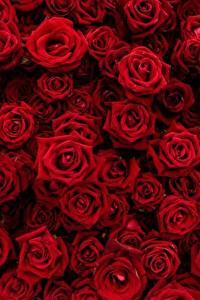 Papel de Parede Desktop Rosa Textura Muitas Vermelho Flores