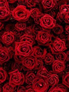 Fotos Rosen Textur Viel Rot Blüte
