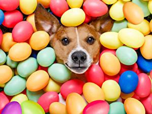Hintergrundbilder Feiertage Ostern Hunde Ei Jack Russell Terrier Starren Bunte Tiere