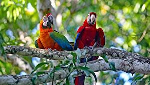 Desktop hintergrundbilder Papageien Eigentliche Aras Vögel 2 Ast ein Tier