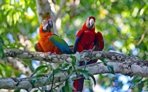 Fotos Papageien Eigentliche Aras Vögel 2 Ast ein Tier