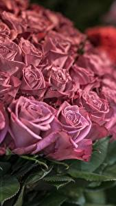 Fotos Rosen Viel Rosa Farbe Blumen