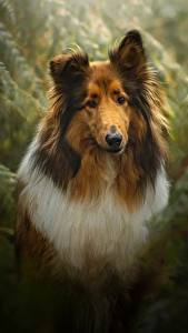 Picture Dogs Collie Animals