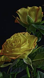 Bilder Rosen Schwarzer Hintergrund Gelb Blattwerk Blumen