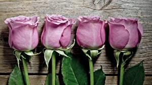 Hintergrundbilder Rosen Großansicht Bretter Violett Blumen