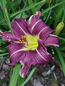 Hintergrundbilder Lilien Großansicht Violett Blumen