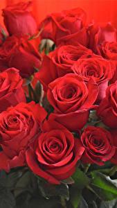 Hintergrundbilder Blumensträuße Rosen Nahaufnahme Rot Blüte