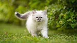 Hintergrundbilder Hauskatze Birma-Katze Weiß Kätzchen Ein Tier