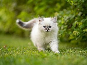 Hintergrundbilder Hauskatze Birma-Katze Weiß Kätzchen Ein Tier Tiere