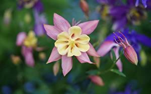 Bilder Großansicht Unscharfer Hintergrund Columbine Aquilegia Blumen
