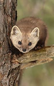 Fotos Marder Ast Starren Bäume pine marten ein Tier