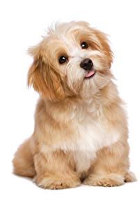 Hintergrundbilder Hunde Weißer hintergrund Welpen Blick Tiere