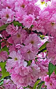 Bilder Blühende Bäume Großansicht Rosa Farbe Ast Blumen