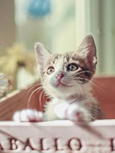 Fotos Hauskatze Katzenjunges Starren Tiere