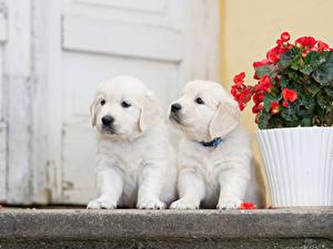 Bilder Hund Golden Retriever Retriever Welpen 2 Weiß Tiere