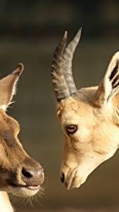 Fotos Hirsche Großansicht Hausschaf Kopf Starren Horn 2 Tiere