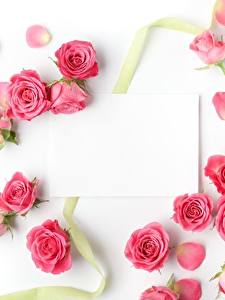 Bilder Rosen Vorlage Grußkarte Weißer hintergrund Rosa Farbe Blumen