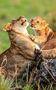 Hintergrundbilder Löwe Jungtiere Löwin