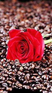 Bakgrundsbilder på skrivbordet Rosor Kaffe Närbild Röd Korn (Säd) Blommor Mat