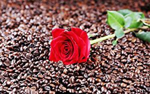 Bilder Rosen Kaffee Nahaufnahme Rot Getreide Blumen Lebensmittel