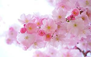 Bilder Frühling Blühende Bäume Großansicht Rosa Farbe Japanische Kirschblüte