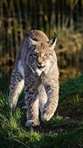 Picture Lynx Grass Paws Staring Animals