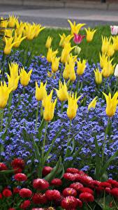 Fotos Park Tulpen Gänseblümchen Lobelia Blumen