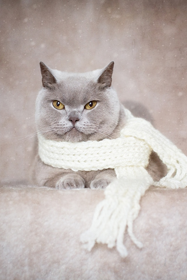 Bilder Britisch Kurzhaar Katze Schal graue ein Tier 640x960 für Handy Katzen Hauskatze Grau graues Tiere
