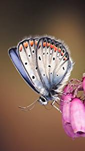 Pictures Butterfly Closeup Silver-studded blue Animals