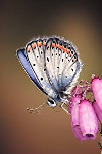 Hintergrundbilder Schmetterling Hautnah Silver-studded blue Tiere