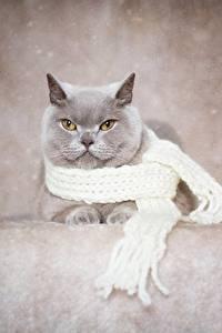 Papel de Parede Desktop Gato Gato de pelo curto inglês Cinza Cachecol animalia