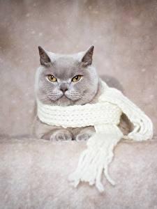 桌面壁纸,,家貓,英国短毛猫,灰色,圍巾,動物