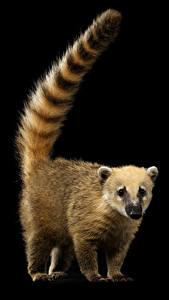 Fotos Waschbären Schwarzer Hintergrund Schwanz South American coati Tiere