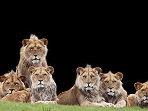 Hintergrundbilder Große Katze Löwe Schwarzer Hintergrund Blick Tiere