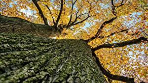 Fotos Großansicht Herbst Rinde Untersicht Ansicht von unten Baumstamm Ast Bäume