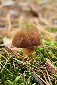 Bilder Großansicht Pilze Natur Gemeiner Steinpilz Laubmoose