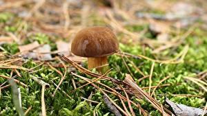 Bilder Großansicht Pilze Natur Gemeiner Steinpilz Laubmoose Natur