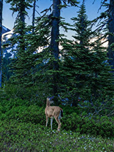 Bilder Vereinigte Staaten Park Washington Fichten Gras Bäume Mount Rainier National Park Natur
