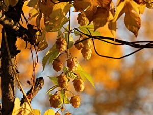 Fotos Echter Hopfen Nahaufnahme Golden Hops