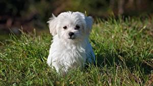 Wallpaper Maltese Dog Grass Puppy White Staring Animals
