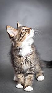 Bilder Katze Grauer Hintergrund Kätzchen Starren