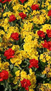 Fotos Schlüsselblumen Tulpen Viel Blumen