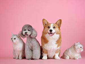 Pictures Dog Cats Pink color Poodle Staring Welsh Corgi Animals
