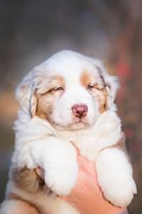 Fotos Hund Niedlich Welpe Hand Australian Shepherd Tiere
