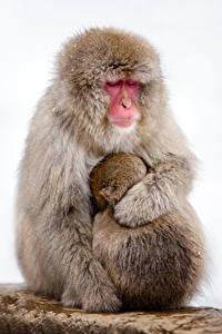 Bilder Affen Jungtiere Weißer hintergrund 2