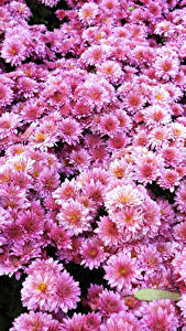 Fotos Chrysanthemen Viel Rosa Farbe Blumen