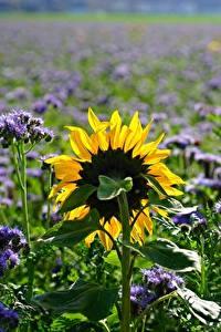 Hintergrundbilder Acker Sonnenblumen Sommer Bokeh Natur