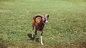 Fotos Widder Gras Horn Blick Mouflon Tiere